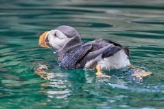 Atlantic puffinn