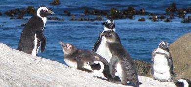Praia pinguim
